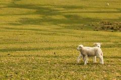 овечка немногая Стоковые Фотографии RF