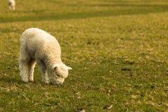 овечка немногая Стоковое Изображение
