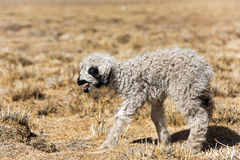 овечка немногая Стоковые Изображения RF