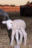 овечка немногая Стоковое Изображение RF