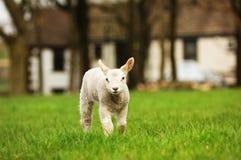 овечка новая Стоковое фото RF