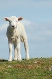овечка пасхи Стоковые Изображения RF