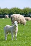 овечка смотря вас Стоковая Фотография