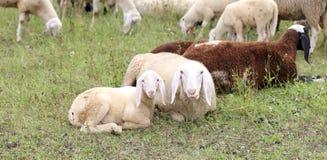 Овечка с ее овцами матери стоковая фотография rf