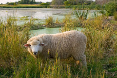 овечка Стоковое Изображение RF