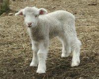 овечка Стоковые Изображения RF