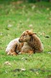 овечка Стоковое Фото