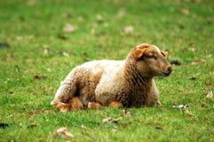 овечка Стоковое Изображение
