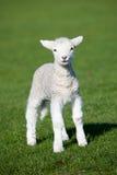 овечка Стоковые Фото