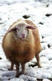 овечка 2 Стоковая Фотография RF