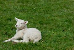овечка Стоковые Изображения