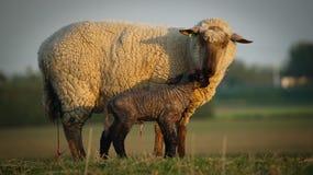 овечка newborn Стоковое фото RF