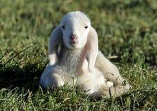 овечка s william blake Стоковое фото RF