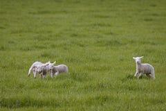 Овечки весны играя в поле стоковое фото