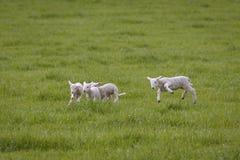 Овечки весны играя в поле стоковое изображение rf