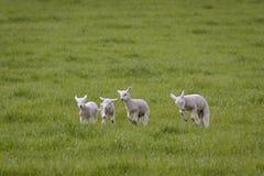 Овечки весны играя в поле стоковые фотографии rf