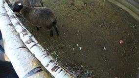 2 овечки идут вокруг фунта в зоопарке сток-видео