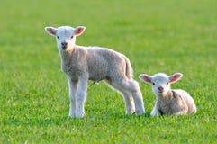2 овечки младенца стоковые фото