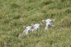 3 овечки отдыхая в траве Стоковые Изображения