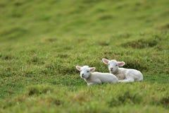 2 овечки отдыхая трава o Стоковое Изображение