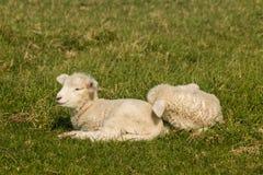 Овечки отдыхая на траве Стоковое Изображение
