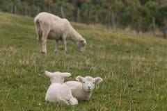 2 овечки отдыхая на траве Стоковые Фото