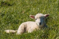 овечки отдыхая на траве Стоковая Фотография RF