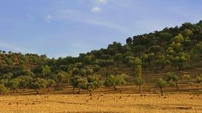Овечки пася на сухой траве в лете Стоковое Изображение RF