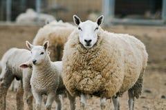 овечки фермы младенца Стоковые Изображения