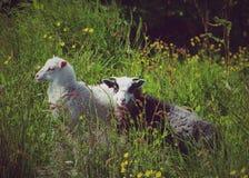 овечки Стоковая Фотография