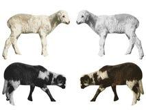 овечки Стоковые Изображения