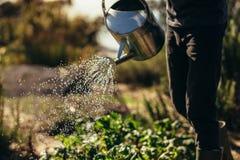 Овощи вод человека с брызгать могут на ферме стоковое фото rf