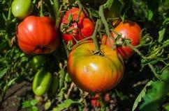 Овощи в саде Стоковое фото RF