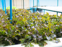 Овощи гидропоники (красный дуб), здоровая еда, обнаруженная местонахождение outdoors Стоковые Изображения RF