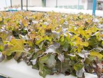 Овощи гидропоники (красный дуб), здоровая еда, обнаруженная местонахождение outdoors Стоковая Фотография RF