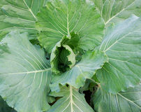 овощи листьев капусты Стоковое фото RF