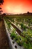 овощи поля Стоковые Фото