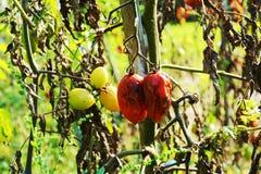Овощи распадаться, томаты, естественная предпосылка стоковое фото rf