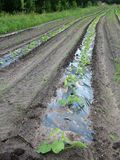 овощи рядка Стоковое Изображение RF