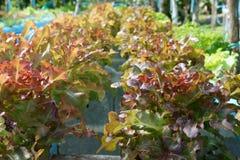 Овощи салата обыкновенно уничтожали в свежих овощах Источник калия, магния стоковые фото