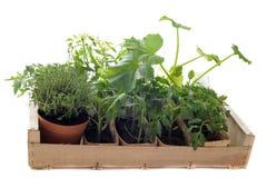овощи сеянца клети Стоковое Изображение RF