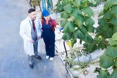 Овощи ученого рассматривая в плантации Стоковая Фотография