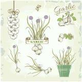 Овощи чеснока, трава, завод, иллюстрация штока