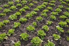 Овощ в обрабатываемой земле Стоковые Фотографии RF