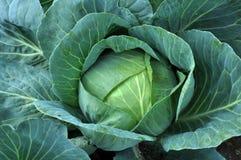 Овощ капусты на земле Стоковая Фотография