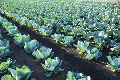 овощ поля фермы капусты стоковые фотографии rf