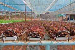 овощ hydroponics Стоковая Фотография RF