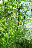 овощ momordica gourd добросердечный стоковые фотографии rf