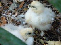 2 довольно пушистых птицы младенца Стоковое Изображение RF