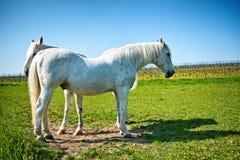 2 довольно серых лошади стоя в солнечном paddock Стоковое фото RF